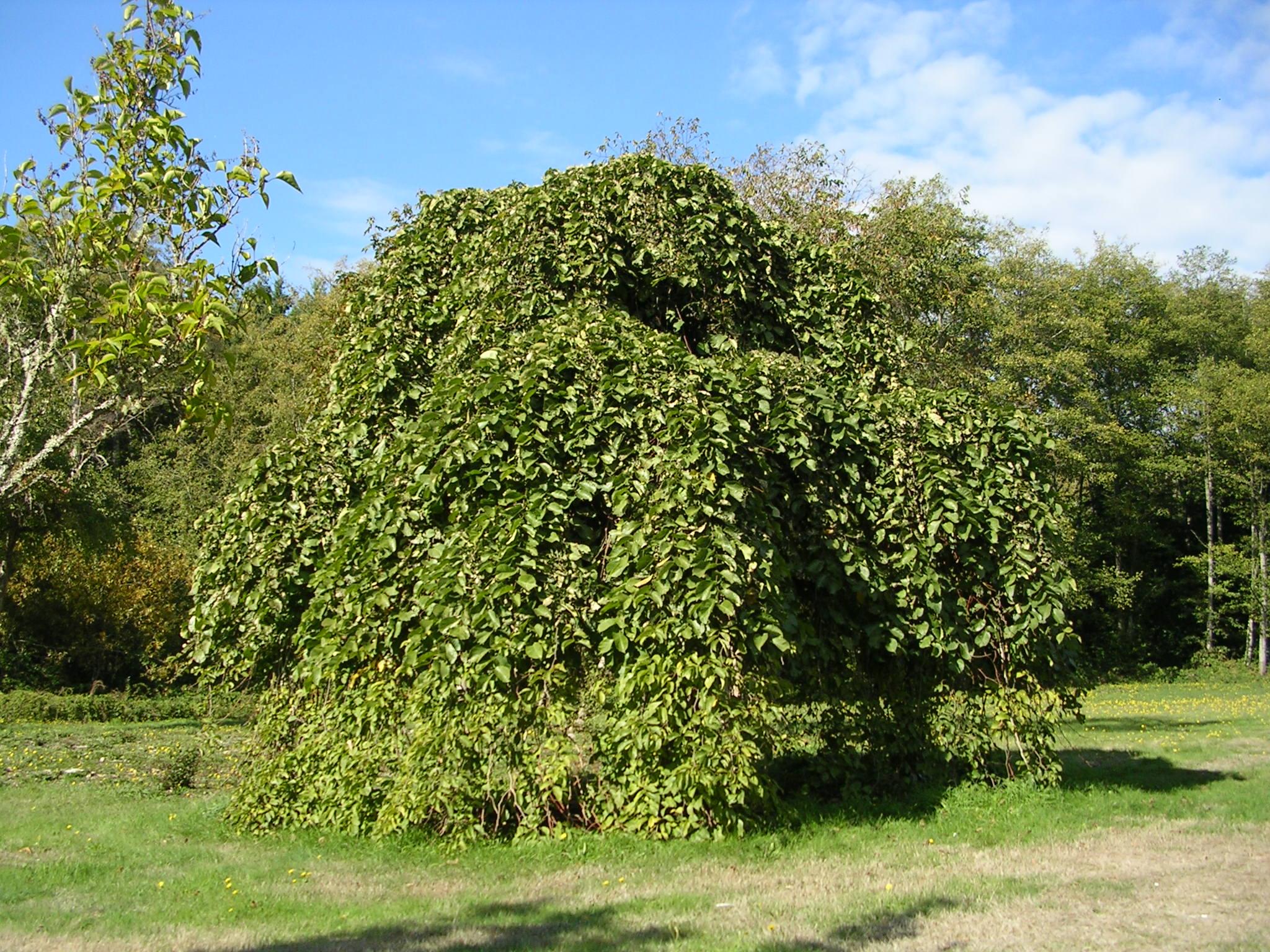 Camperdown Scotch Elm Tree Kitsap Now
